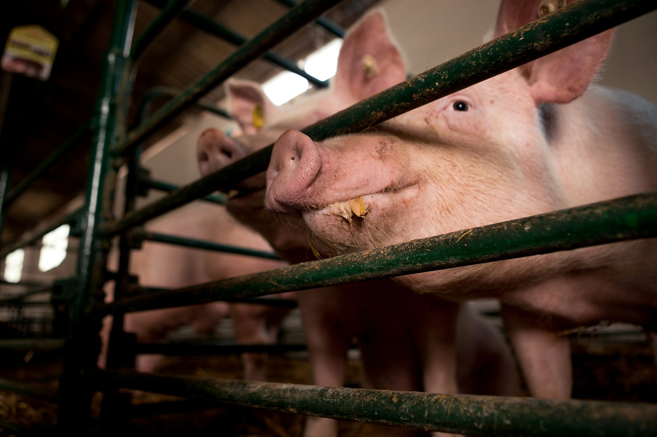 LD verlichting voor varkensstallen